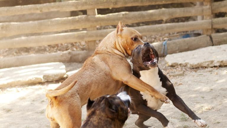 Lotte tra cani: tre condanne a Palermo. Attivo il numero SOS combattimenti