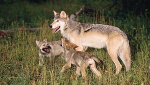 Uomini e lupi: ecco come convivere in sicurezza