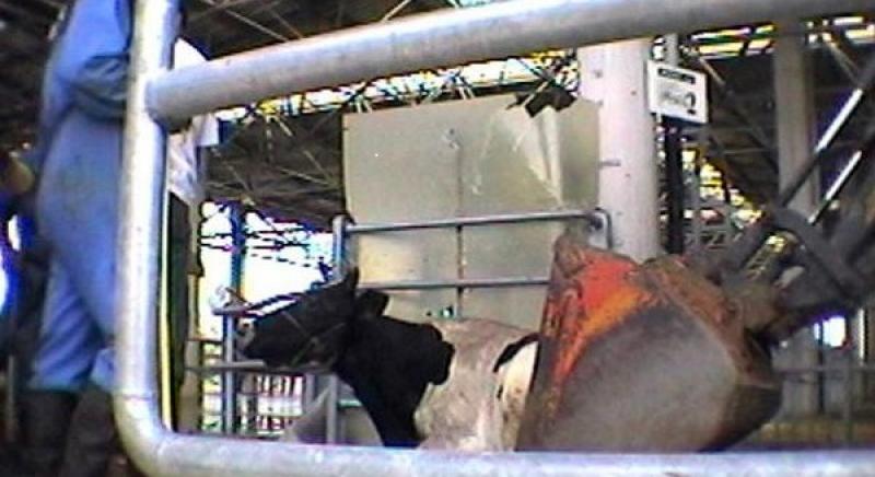 """Mucche """"da latte"""": abusi senza regole"""