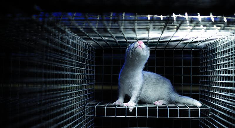Visoni: ricorso Essere Animali e LAV a TAR Veneto su allevamento Villadose