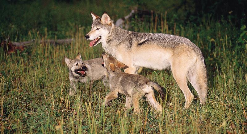 5 cuccioli di lupo morti nel Parco Nazionale. Indagini rapide ed efficaci!