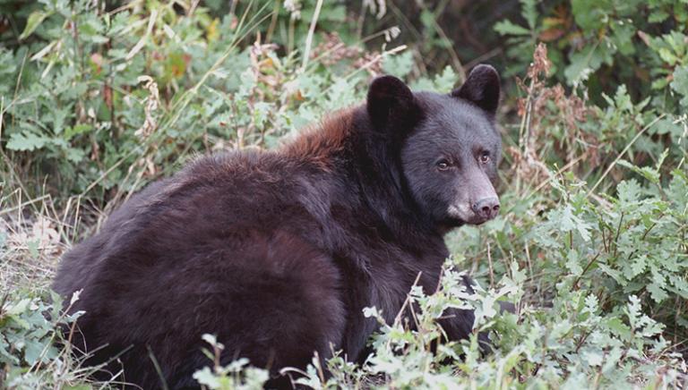 Presidente Gentiloni bocci subito la richiesta di Trento su orsi e lupi