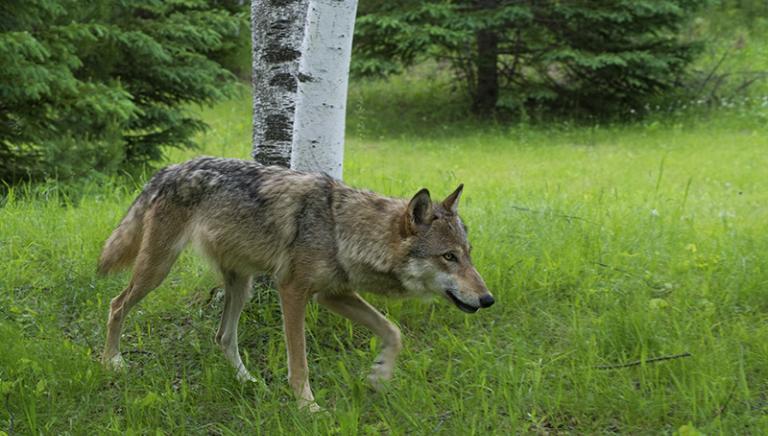 Tre lupi vittime di bracconaggio. Necessario intervento Ministero Ambiente