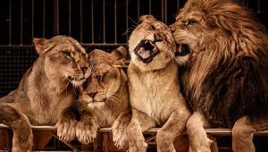Eurogroup for Animals, dossier su incidenti con animali dei circhi