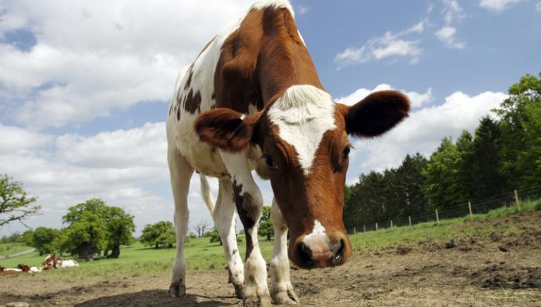 Uccisione animali in ambito zootecnico: Parlamento non depotenzi repressione