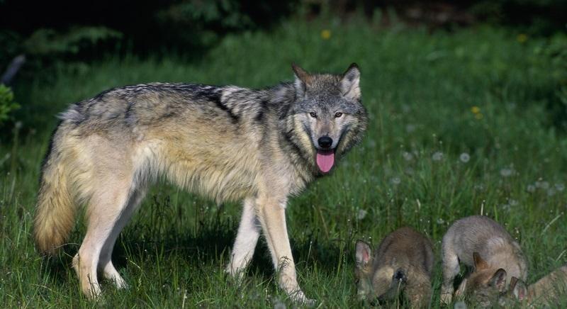 Attenti al lupo... o all'uomo? Oggi Stato e Regioni decidono sugli abbattimenti