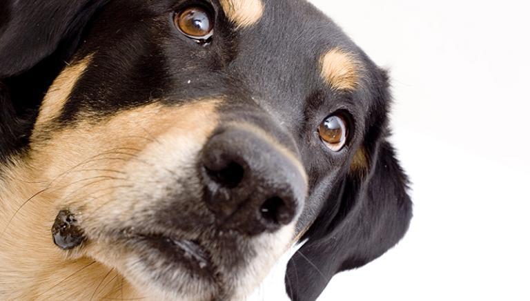 Bimba morsa dal cane a Bergamo, Ats: non sarà abbattuto