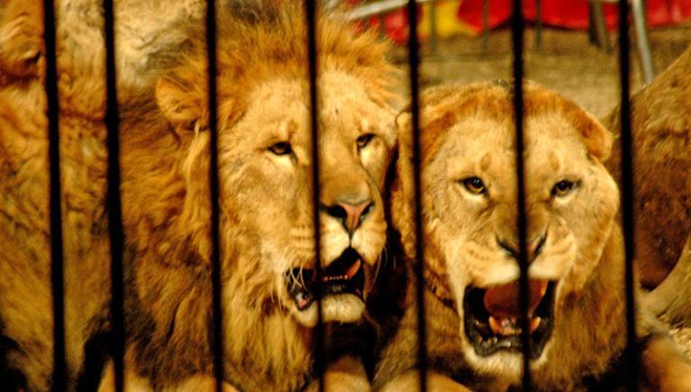 Circo, Giovanardi basta: demolite già mesi fa accuse a animalisti su studi scientifici!