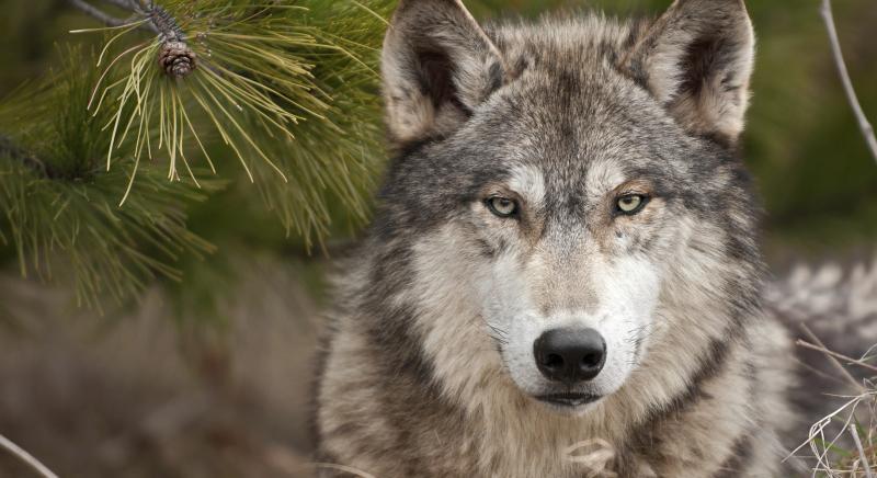 Proiettili di gomma e facce di bronzo: fallito il tentativo di sdoganare l'uso dei fucili contro i lupi