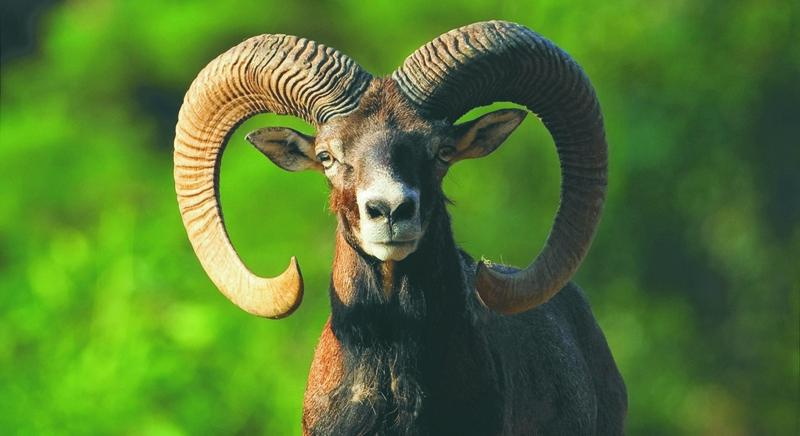 Mufloni dell'Elba, replica al presidente Parco: nessun motivo giustifica una mattanza
