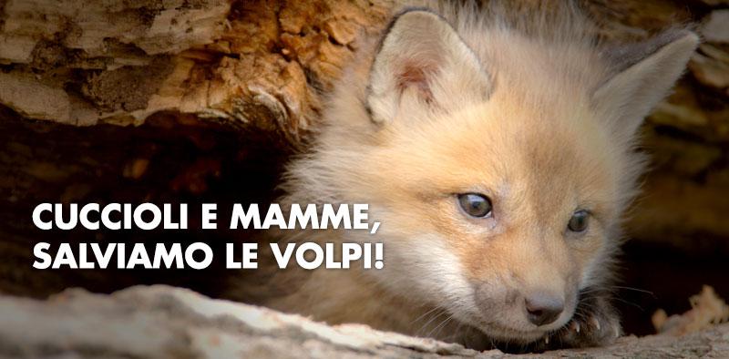 Mamme e cuccioli: salviamo le volpi