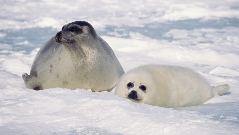 Pellicce di foca, Corte UE respinge secondo ricorso