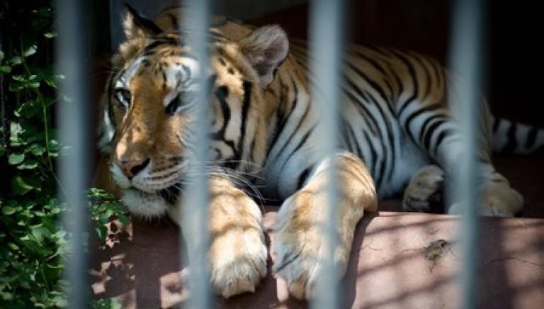 La tigre Cleo dallo zoo di Napoli a una nuova vita!