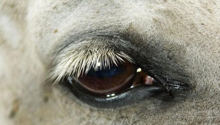 Un altro cavallo muore al Palio di Asti. Basta vittime innocenti