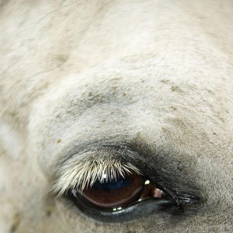 Occhi cavallo bianco