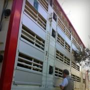 La partenza dei maiali