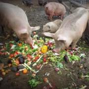 I maiali a colazione nella nuova casa