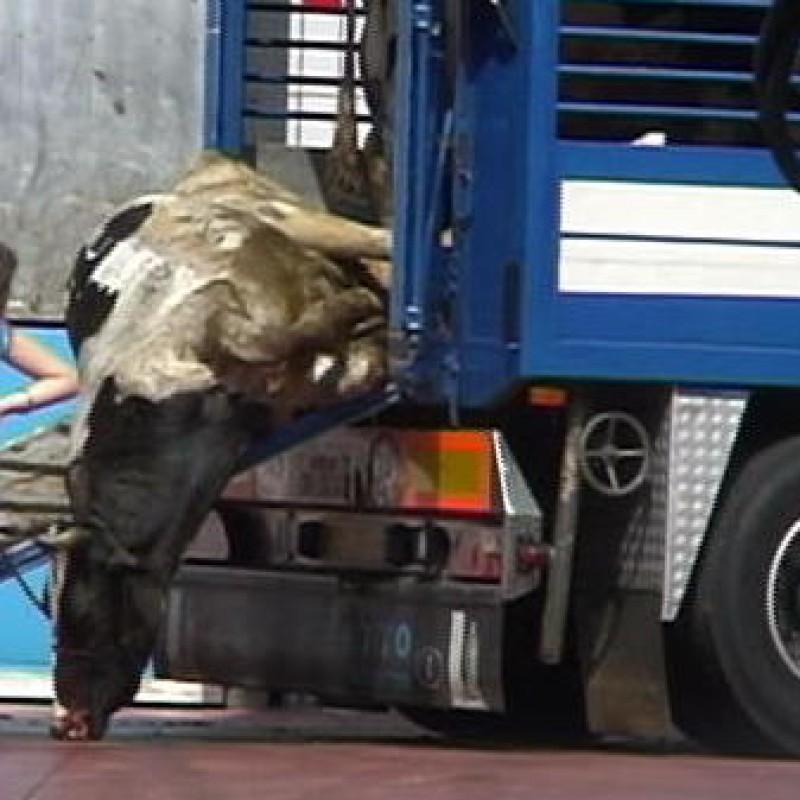 Mucca trasporto