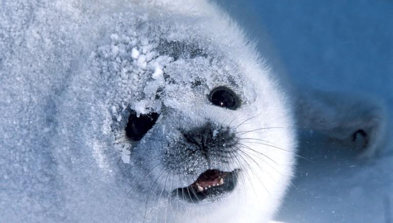 La Corte di Giustizia boccia il ricorso degli Inuit contro la caccia alle foche!