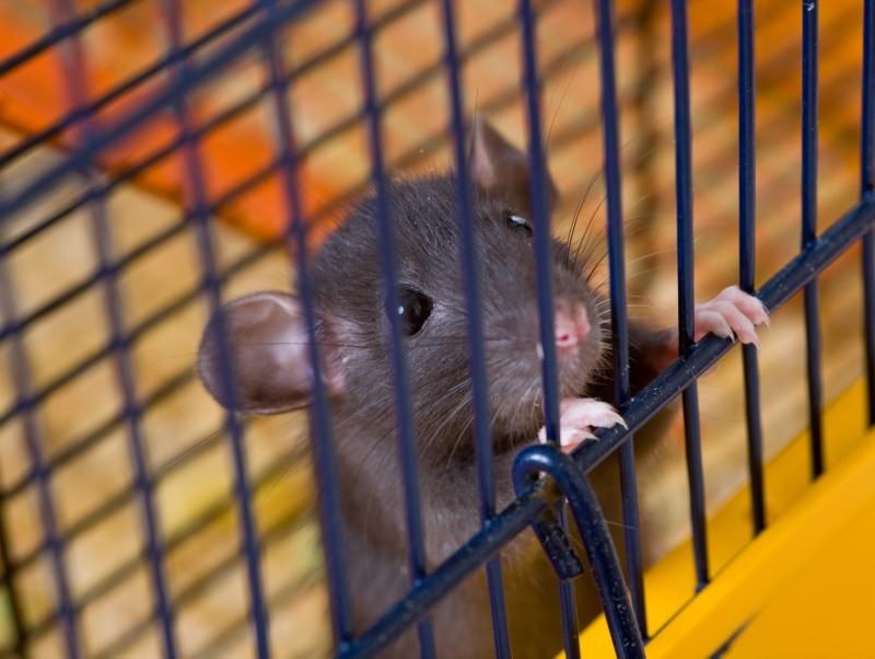 Topolino in gabbia