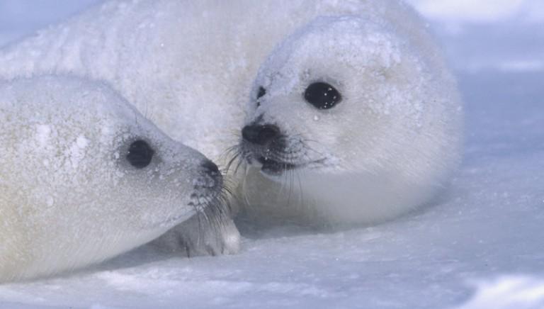 Il bando al commercio di prodotti di foca è giustificabile. Parola di OMC
