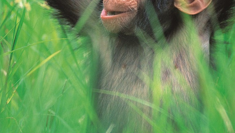 Capacità giuridica agli scimpanzé? Possibile svolta a New York