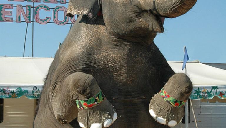 Elefante a passeggio per Roma, Prefetto vieti attendamento dei circhi
