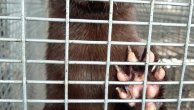 Emilia-Romagna, presentata legge per chiudere gli allevamenti per pellicce