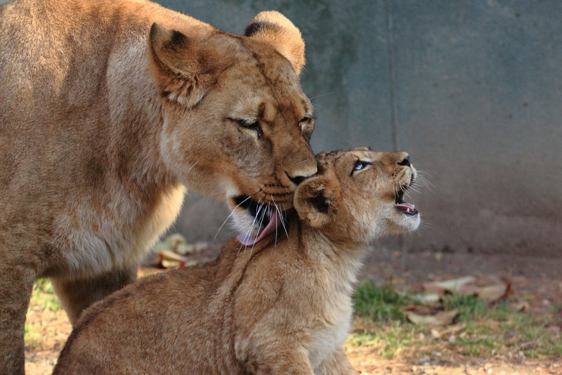 leonessa con un cucciolo