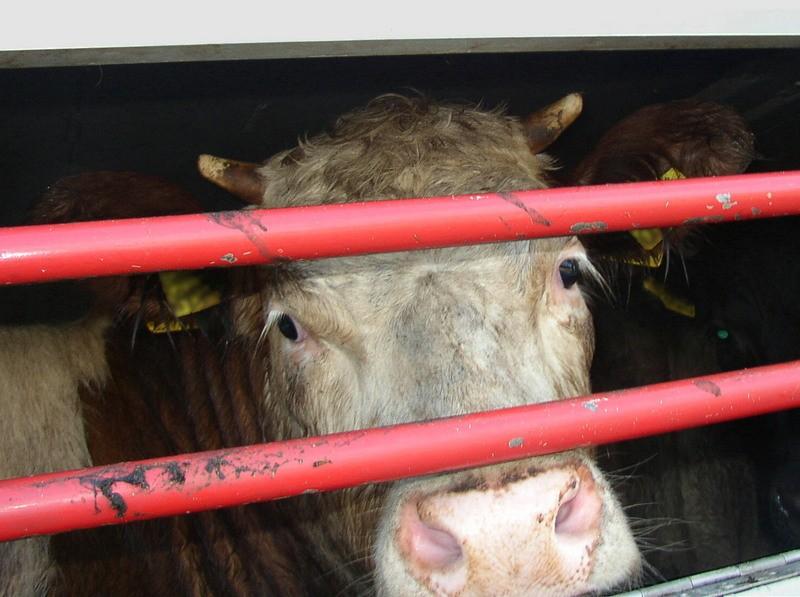 Mucca durante il trasporto
