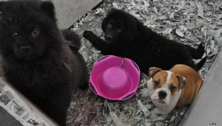Tratta di cuccioli, 220 cani sotto sequestro!