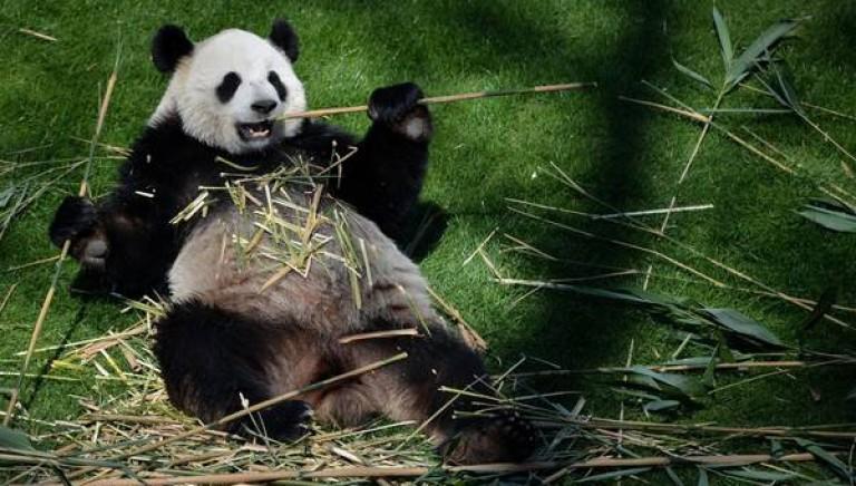 """Il panda triste nello Zoo... col """"trucco"""""""