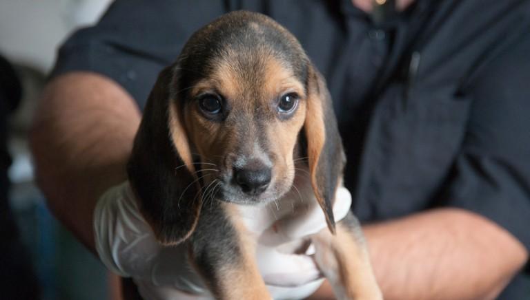 Due anni fa, la liberazione dei beagle di Green Hill
