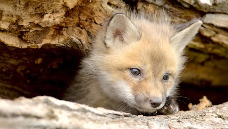 Consiglio di Stato: stop a sterminio volpi in provincia di Treviso