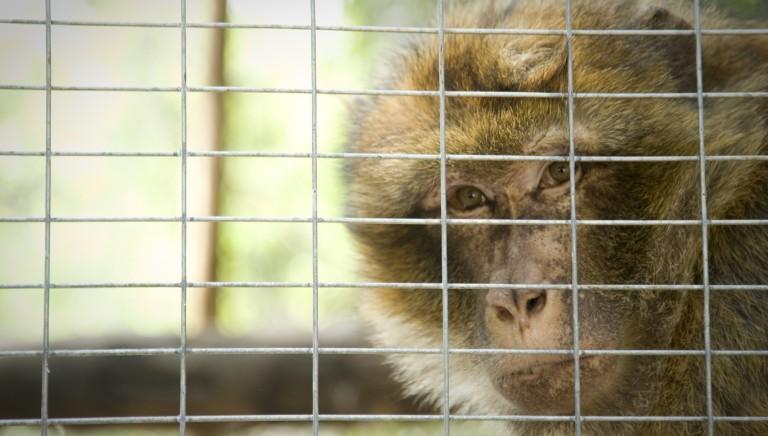Stabulario di Modena: liberiamo i macachi dalla vivisezione