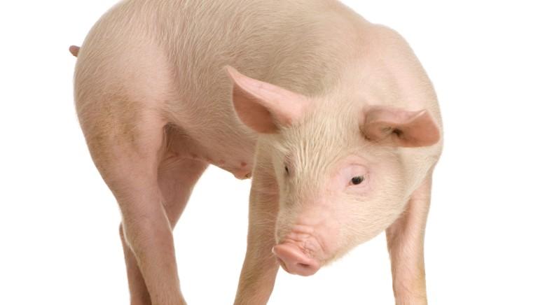 Babbuini e maiali usati per xenotrapianti: la vivisezione più nera