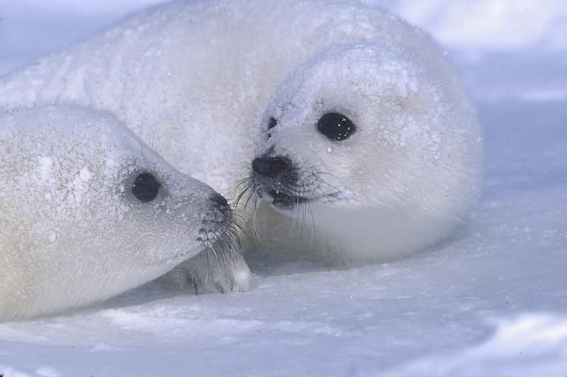 Foche, WTO: sì al divieto europeo commercio prodotti di foca