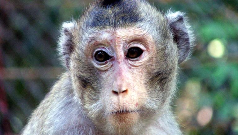 Revocata autorizzazione a Harlan per l'allevamento di primati
