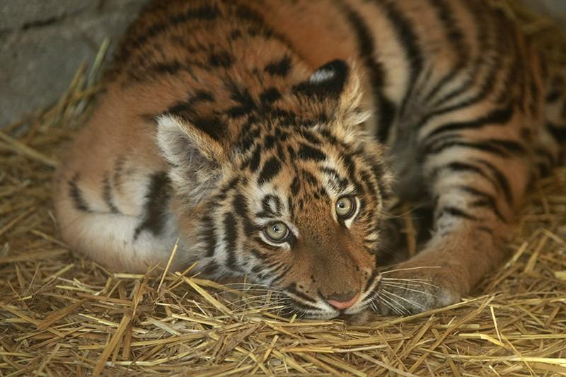 La tigre al momento del ritrovamento (foto Stefano Renna)