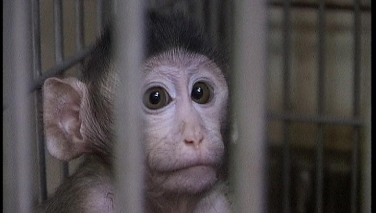 Vivisezione a Modena, appello degli scienziati: stop all'uso dei macachi