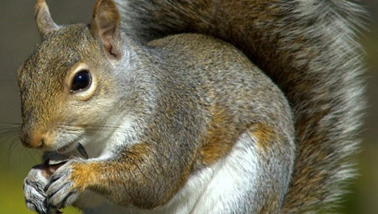 Umbria: sterminio scoiattoli grigi. Intervento inutile che provocherà migliaia di morti