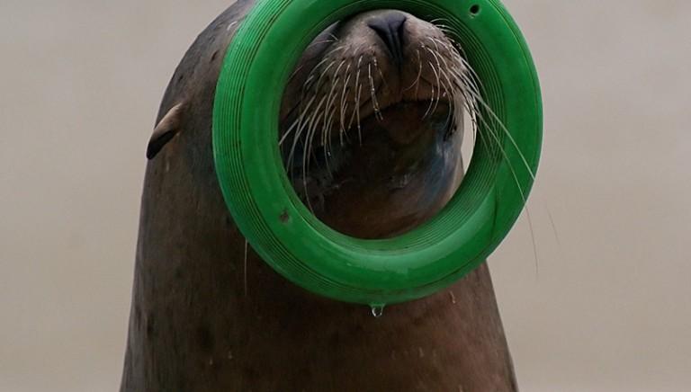 Delfinario Rimini, Ministero Ambiente: otarie non possono restare