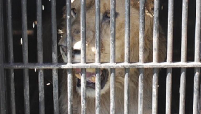 Fuori dal circo: l'inizio di una nuova vita. Il video del viaggio del leone Madiba e della tigre Antares