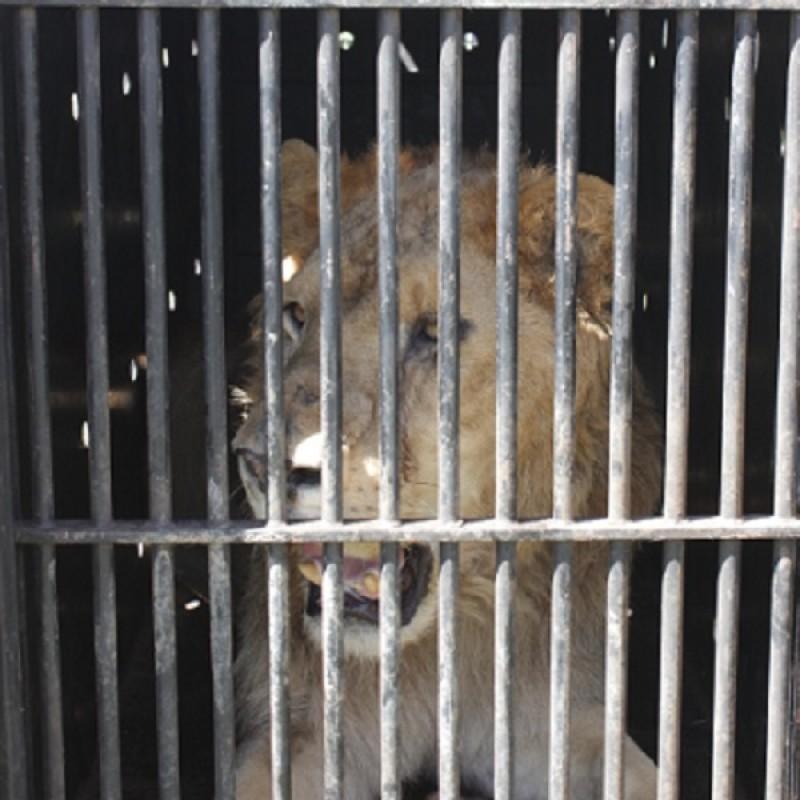 Il leone Madiba