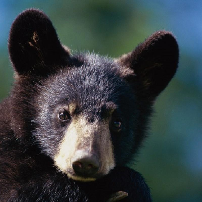 Cucciolo di orso