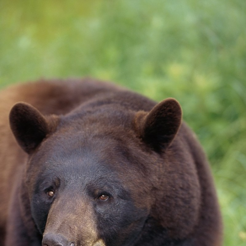 Uccisione orso Abruzzo, c'è indagato. Lav: contestare anche furto venatorio e distruzione specie protetta. Revocare licenza di caccia e porto d'armi