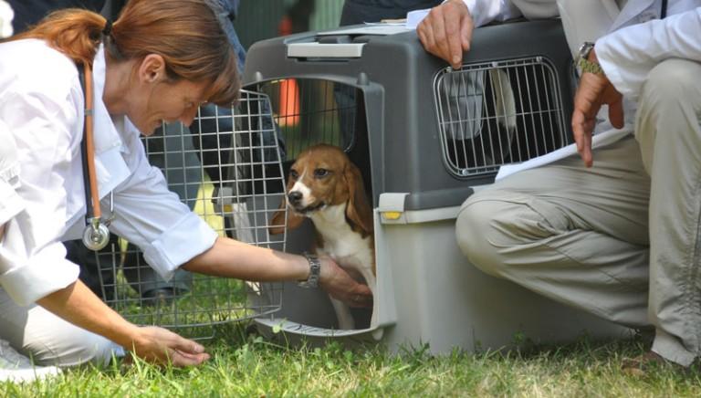 Domani seconda udienza del processo Green Hill. All'ingresso del Tribunale saranno presenti tanti beagle salvati.
