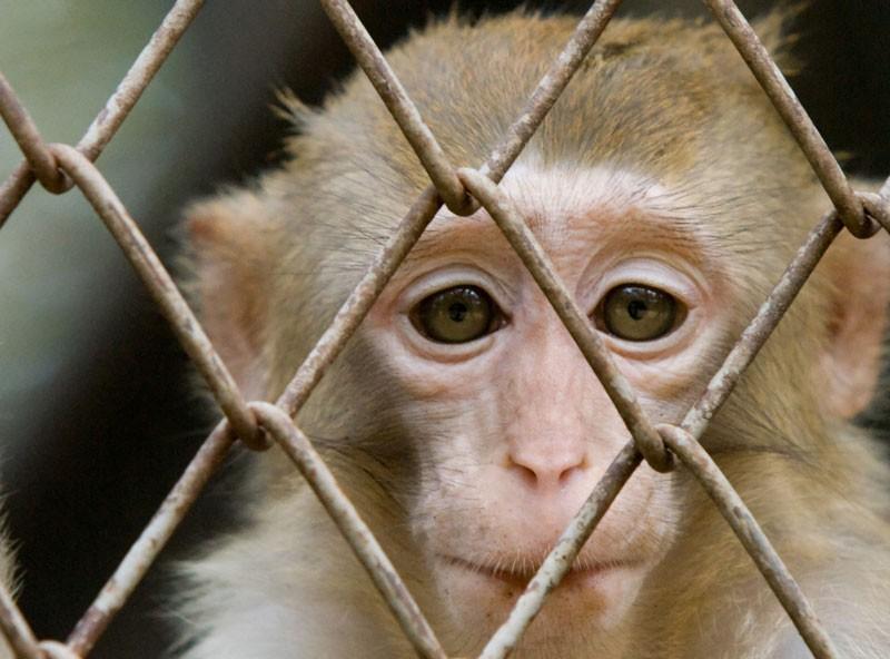 Macaco di repertorio