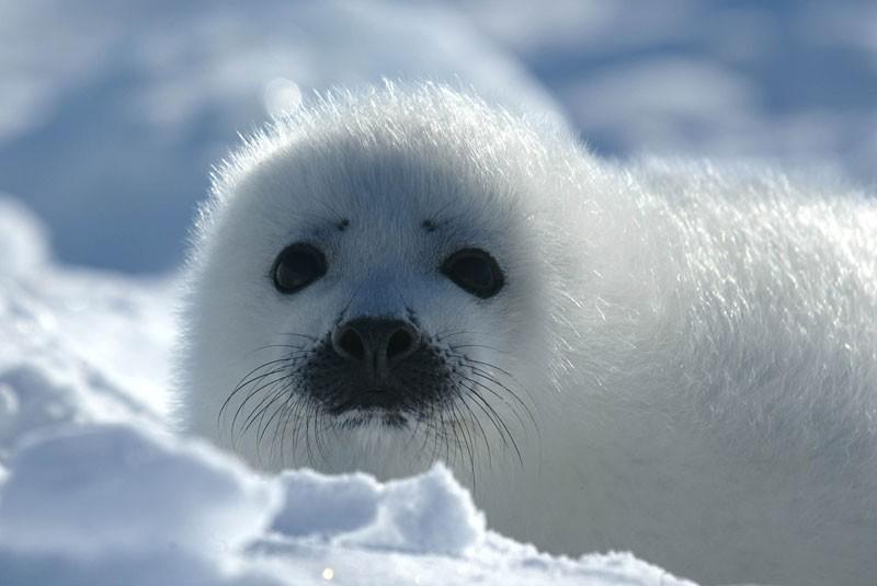 Cucciolo di foca