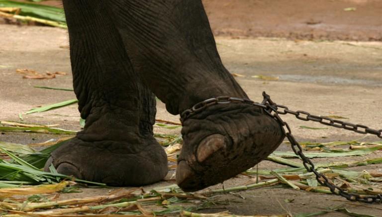 Dopo nostra denuncia il Tribunale di Milano condanna Livio Togni per detenzione di elefanti a catena